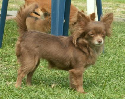 Chihuahuafarben